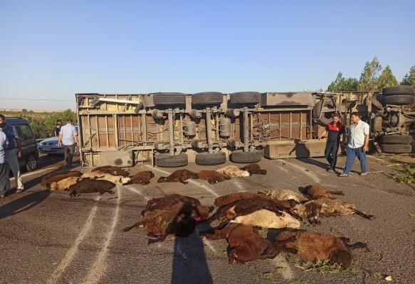 Urfa'da koyun yüklü TIR devrildi! 42 Hayvan telef oldu